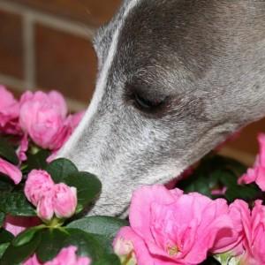 dreamstimefree_592017dog-sniffing-flowers dreamstimefree 592017dog sniffing flowers 300x300