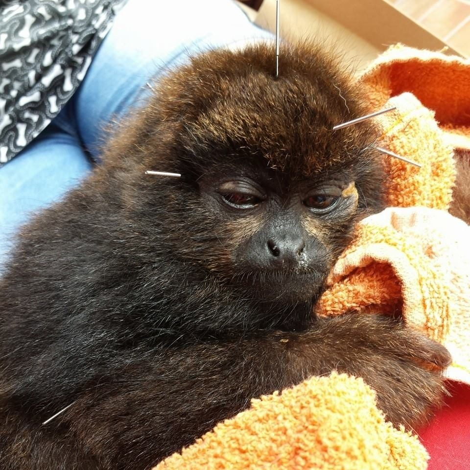 baby monkey saved from coma with acupuncture treatments Baby monkey saved from coma with acupuncture treatments Image 11 960x960