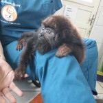 Image 15 baby monkey saved from coma with acupuncture treatments Baby monkey saved from coma with acupuncture treatments Image 15 150x150