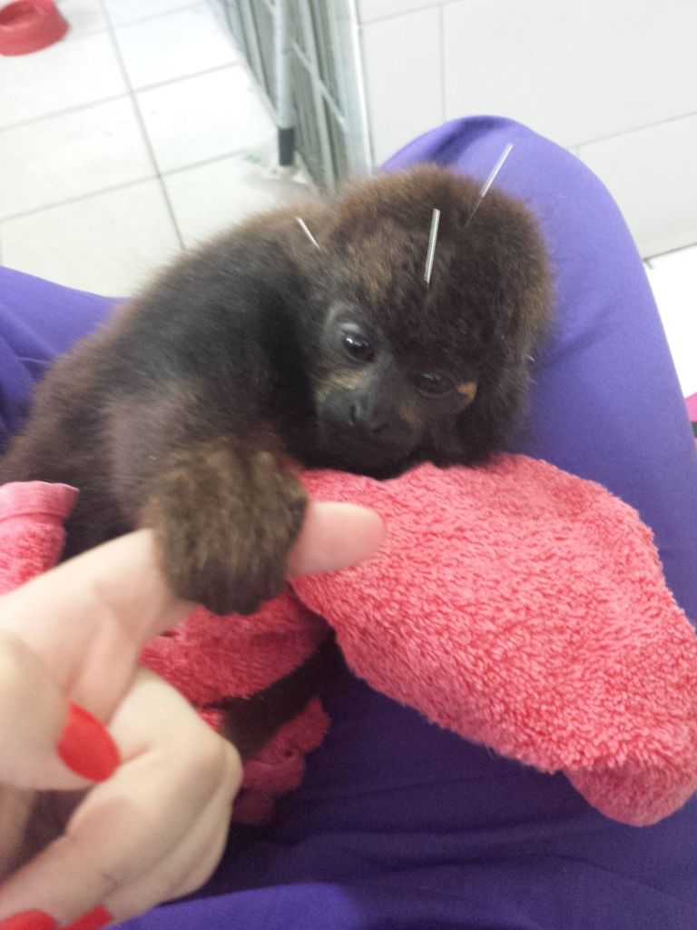 Image 8 baby monkey saved from coma with acupuncture treatments Baby monkey saved from coma with acupuncture treatments Image 8